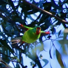 Lathamus discolor (Swift Parrot) at Deakin, ACT - 18 Sep 2021 by LisaH