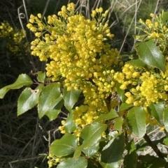 Berberis aquifolium (Oregon grape) at Majura, ACT - 18 Sep 2021 by JaneR