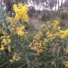 Acacia vestita (Hairy Wattle) at Bruce, ACT - 17 Sep 2021 by jgiacon