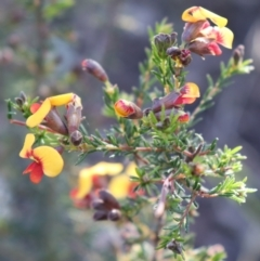 Dillwynia phylicoides (A Parrot-pea) at Acton, ACT - 18 Sep 2021 by Sarah2019