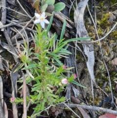 Rhytidosporum procumbens (White Marianth) at Acton, ACT - 18 Sep 2021 by Sarah2019