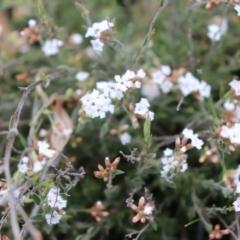 Leucopogon virgatus (Common Beard-heath) at Acton, ACT - 18 Sep 2021 by Sarah2019