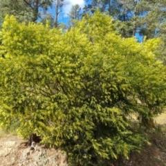 Acacia floribunda (White Sally Wattle, Gossamer Wattle) at Isaacs, ACT - 19 Sep 2021 by Mike