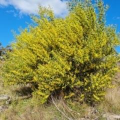 Acacia longifolia subsp. longifolia (Sydney Golden Wattle) at Jerrabomberra, ACT - 19 Sep 2021 by Mike