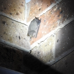 Nyctophilus sp. (genus) (A long-eared bat) at Carwoola, NSW - 17 Sep 2021 by Liam.m