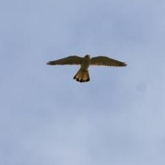 Falco cenchroides (Nankeen Kestrel) at Yackandandah, VIC - 19 Sep 2021 by Kyliegw
