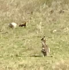 Vulpes vulpes (Red Fox) at Kambah, ACT - 18 Sep 2021 by PeterR