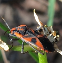 Spilostethus pacificus (Milkweed bug) at Downer, ACT - 19 Sep 2021 by Ned_Johnston