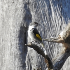 Phylidonyris pyrrhopterus (Crescent Honeyeater) at Stromlo, ACT - 18 Sep 2021 by HelenCross