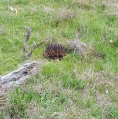 Tachyglossus aculeatus (Short-beaked Echidna) at Holt, ACT - 19 Sep 2021 by byomonkey
