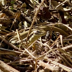 Eulamprus heatwolei (Yellow-bellied Water Skink) at Acton, ACT - 11 Sep 2021 by AndrewCB