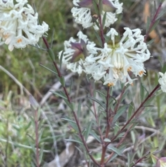 Pimelea glauca (Smooth Rice Flower) at Majura, ACT - 19 Sep 2021 by JaneR