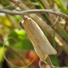 Unidentified Concealer moth (Oecophoridae) (TBC) at Tennent, ACT - 19 Sep 2021 by JohnBundock