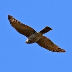 Accipiter cirrocephalus (Collared Sparrowhawk) at Tuggeranong DC, ACT - 17 Sep 2021 by RodDeb