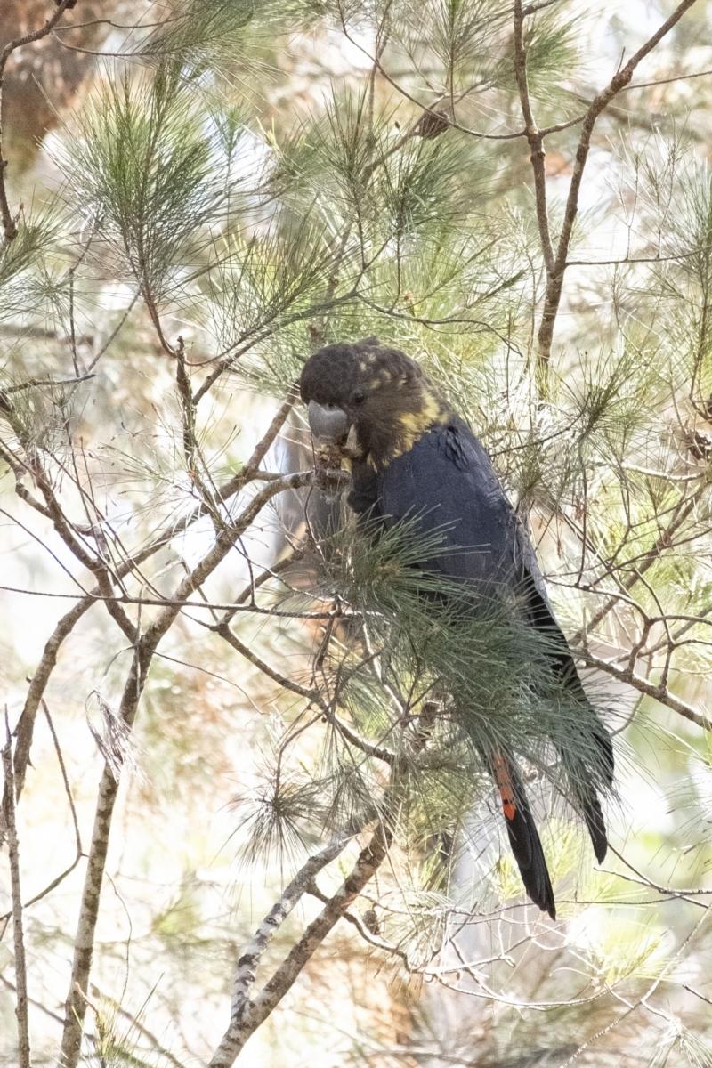 Calyptorhynchus lathami at Penrose, NSW - 9 Sep 2021