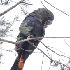 Calyptorhynchus lathami (Glossy Black-Cockatoo) at Penrose, NSW - 9 Sep 2021 by Aussiegall