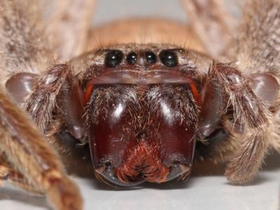 Isopeda sp. (genus) (Huntsman Spider) at Evatt, ACT - 16 Sep 2021 by TimL
