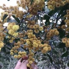 Acacia pycnantha (Golden Wattle) at O'Malley, ACT - 17 Sep 2021 by Tapirlord
