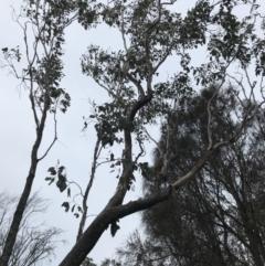 Eucalyptus albens (White Box) at Symonston, ACT - 17 Sep 2021 by Tapirlord