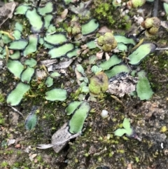 Unidentified Moss / Liverwort / Hornwort (TBC) at O'Malley, ACT - 17 Sep 2021 by Tapirlord