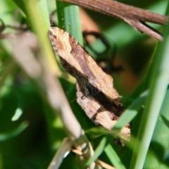 Epyaxa subidaria (Subidaria Moth) at Hughes, ACT - 17 Sep 2021 by LisaH
