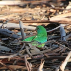 Lathamus discolor (Swift Parrot) at Deakin, ACT - 19 Sep 2021 by LisaH
