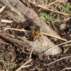 Eristalis tenax (Drone fly) at Conder, ACT - 18 Sep 2021 by ChrisHolder