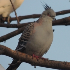 Ocyphaps lophotes (Crested Pigeon) at Conder, ACT - 9 Sep 2021 by michaelb