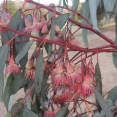Eucalyptus sideroxylon (Mugga Ironbark) at Banks, ACT - 9 Sep 2021 by michaelb