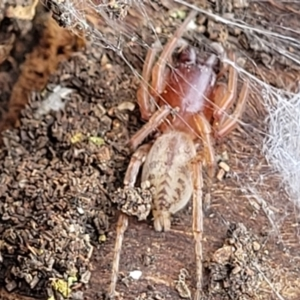 Clubiona sp. (genus) (Unidentified Stout Sac Spider) at Acton, ACT by tpreston