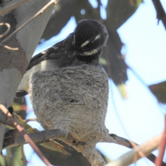 Rhipidura albiscapa (Grey Fantail) at Stromlo, ACT - 19 Sep 2021 by HelenCross