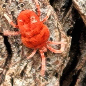 Trombidiidae sp. (family) (Red velvet mite) at Acton, ACT by tpreston