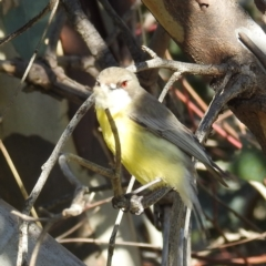 Gerygone olivacea (White-throated Gerygone) at Stromlo, ACT - 19 Sep 2021 by HelenCross