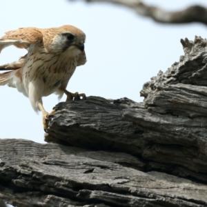 Falco cenchroides (Nankeen Kestrel) at suppressed by jbromilow50