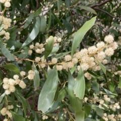 Acacia melanoxylon (Blackwood) at Fraser, ACT - 9 Sep 2021 by Rosie