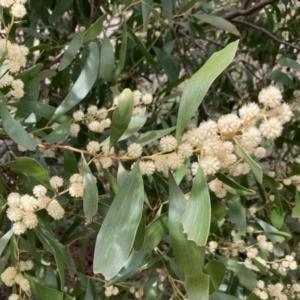 Acacia melanoxylon (Blackwood) at Fraser, ACT by Rosie