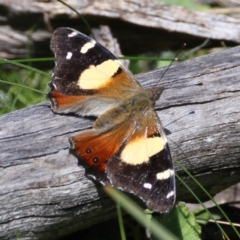 Vanessa itea (Yellow Admiral) at Downer, ACT - 8 Sep 2021 by jbromilow50