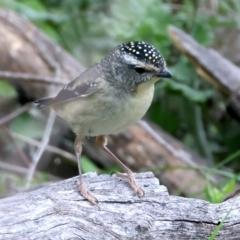 Pardalotus punctatus (Spotted Pardalote) at Majura, ACT - 10 Sep 2021 by jbromilow50