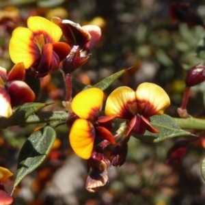 Daviesia ulicifolia subsp. ruscifolia at Bruce, ACT by Dibble