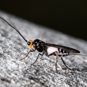 Callibracon capitator (White Flank Black Braconid Wasp) at Macgregor, ACT by Roger