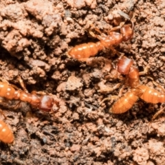Amblyopone longidens (Slow Ant) at Downer, ACT - 14 Sep 2021 by Roger