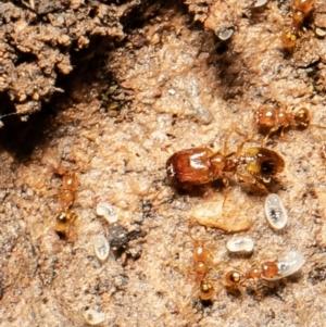 Pheidole sp. (genus) (Seed-harvesting ant) at Downer, ACT by Roger
