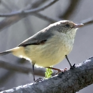 Acanthiza reguloides (TBC) at suppressed by jbromilow50