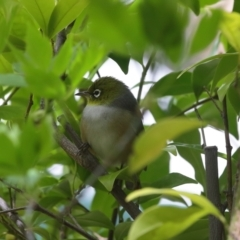 Zosterops lateralis (Silvereye) at Calwell, ACT - 20 Sep 2021 by lucifuge1968