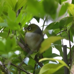 Zosterops lateralis (Silvereye) at Calwell, ACT by lucifuge1968