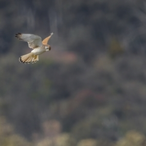 Falco cenchroides (TBC) at suppressed by trevsci