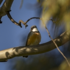 Pachycephala rufiventris (Rufous Whistler) at Forde, ACT - 18 Sep 2021 by trevsci