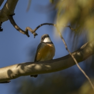Pachycephala rufiventris (Rufous Whistler) at Forde, ACT by trevsci