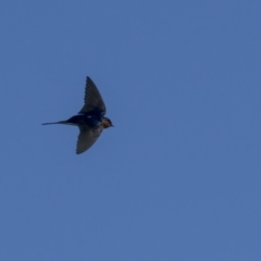 Hirundo neoxena (Welcome Swallow) at Forde, ACT - 18 Sep 2021 by trevsci