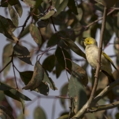 Ptilotula penicillata (White-plumed Honeyeater) at Forde, ACT - 18 Sep 2021 by trevsci